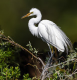 Great Egret-7408.jpg