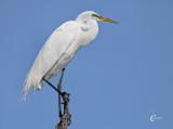 Great White Egret-1364.jpg