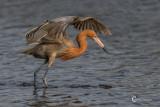 Reddish Egret-4593.jpg