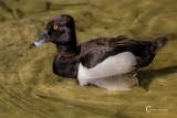 Ringnecked Duck-1583.jpg