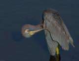 Tricolor Heron.jpg