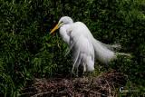 White Egret-0004.jpg
