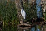 White Egret-3759.jpg