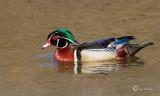 Wood Duck-6202.jpg