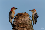 Woodpecker Pair-1030.jpg