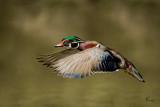 Wood Duck 2164.jpg