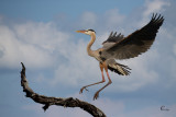 Blue Heron Landing-2816.jpg