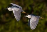Night Herons Pair-0741.jpg