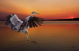 Sunrise Blue Heron-0254.jpg