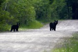 Black Bear Mom and Cub