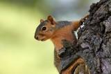 Young Fox Squirrel