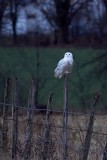 Snowy Owl in Pennsylvania