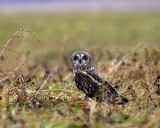 Short-eared Owl in Pennsylvania