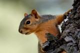 Squirrels, Chipmunks and Small Rodents