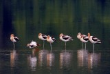 Sleeping Avocets