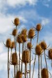 Teasels against Sky