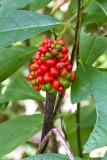 Jack-in-the-Pulpit Fruit