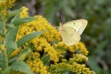 Alfalfa Sulfur butterfly