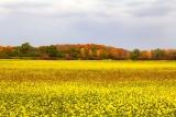 Canola Fields in Fall