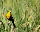 yellow head blackbird.jpg