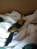 injure hooded oriole.jpg