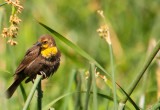 female yellow headed blackbird.jpg