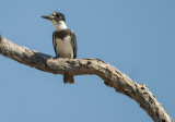 belted kingfisher3.jpg