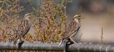 meadow larks.jpg