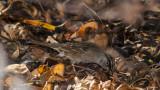 golden crown sparrow.jpg