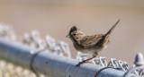 Lincoln's Sparrow 2.jpg