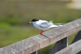 Forester's Tern.jpg