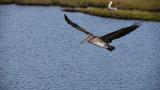 female brown pelican.jpg