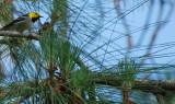 hermit warbler.jpg
