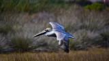 male ca brown pelican.jpg