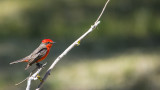 Vermilion Fly Catcher3.jpg