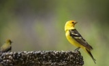 western tanager2.jpg
