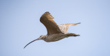long billed curlew.jpg