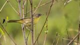 female common yellowthroat.jpg