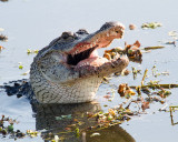 Gator Swallowing Catfish.jpg