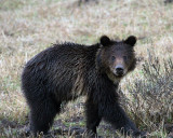 The Little Grizzly.jpg