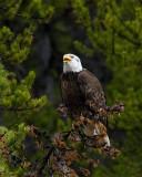 Bald Eagle on the Yellowstone River.jpg