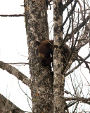 Cinnamon Black Bear Cub in a Tree Near the Mammoth Terraces.jpg