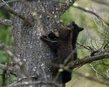 Black Bear Cubs in a Tree Near Mammoth Terraces.jpg