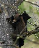 Black Bear Cubs Near Mammoth Terraces.jpg
