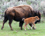 Bison Calf Running with Mother.jpg