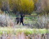 Lamar Canyon Wolf at the Confluence.jpg
