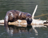 River Otter at Trout Lake.jpg