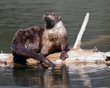 Trout Lake Otter on a Log.jpg
