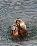 Otter Feeding.jpg