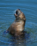 Otter Head Out of Water.jpg